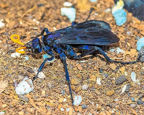 Black Beauty, iridescent blue - Pepsis menechma? - Pepsis menechma - female