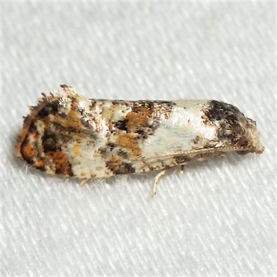 Cochylichroa hoffmanana  - Cochylichroa hoffmanana