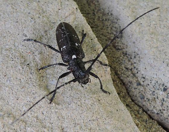 longhorn beetle - Monochamus scutellatus