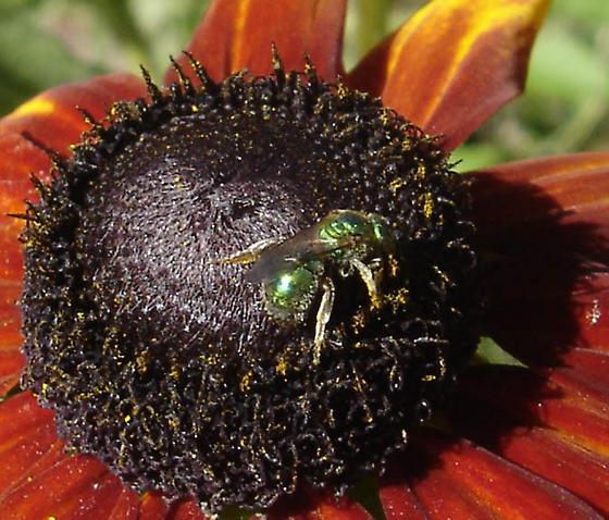 Green sweat bee - Augochlorella aurata