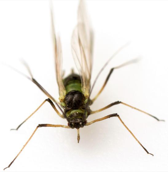 Female, Hyperomyzus lactucae? - Hyperomyzus lactucae