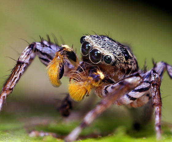 Male Dimorphic Jumping Spider - Maevia inclemens - male
