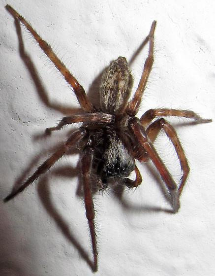 B. longinqua male - Badumna longinqua - male