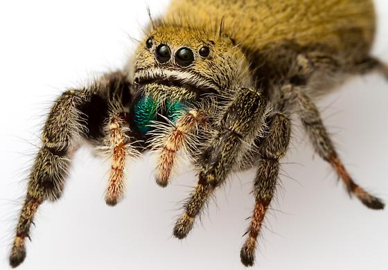Female, Phidippus apacheanus? - Phidippus - female