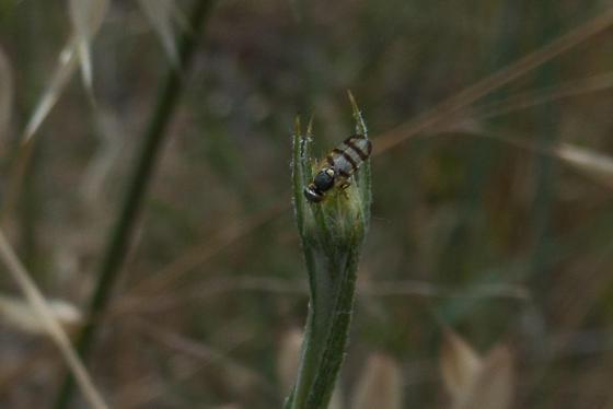 Fly on yellow starthistle, Santa Clara County, California - Urophora