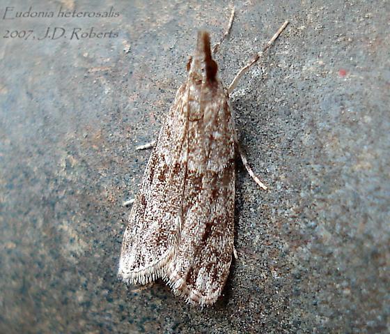 Eudonia heterosalis