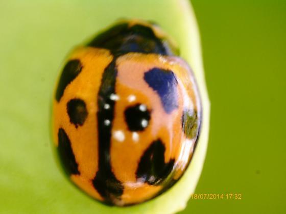 Sanibel Island beetle on Scaevola plumieri 2019 2 - Coelophora inaequalis