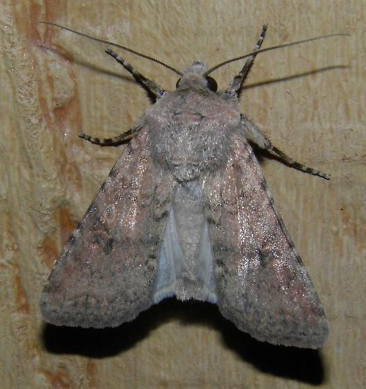 Moth1 - Euxoa serricornis