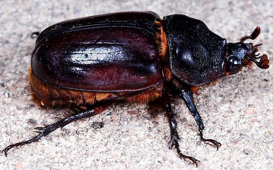Female, Strategus aloeus (L.)? - Strategus aloeus