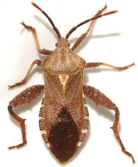 Piezogaster - Piezogaster calcarator