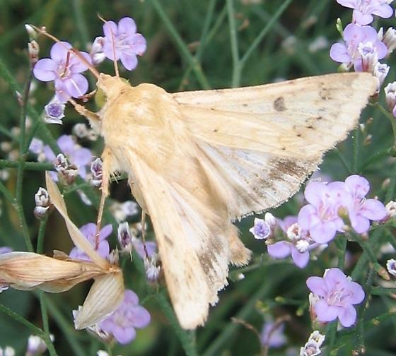 Cream-colored moth - Helicoverpa zea