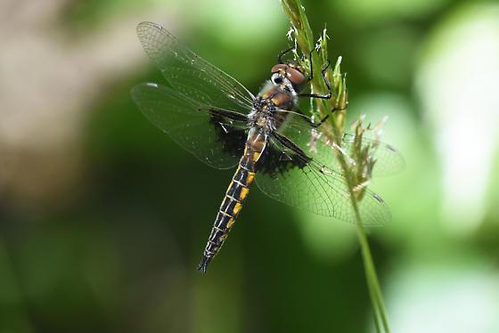 Baskettail Dragonfly - Epitheca semiaquea