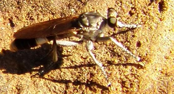 Robber fly ID - Stichopogon trifasciatus