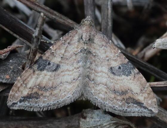 Moth - Orthonama obstipata - male