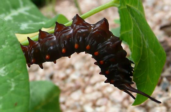 Middle Instar of Pipevine Swallowtails - Battus philenor