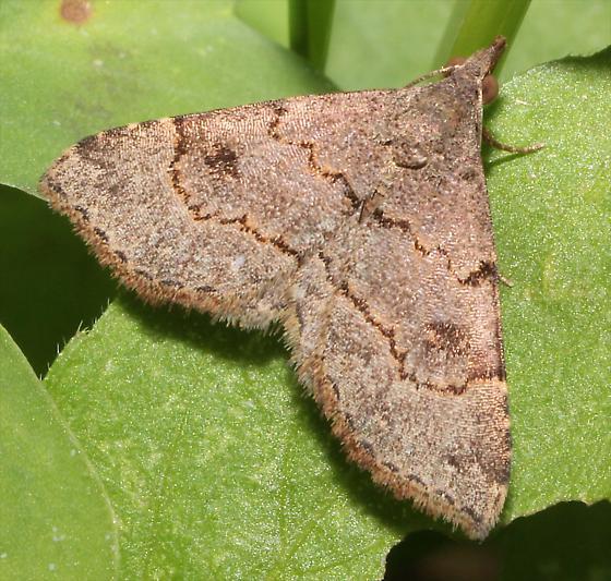 Nychioptera noctuidalis