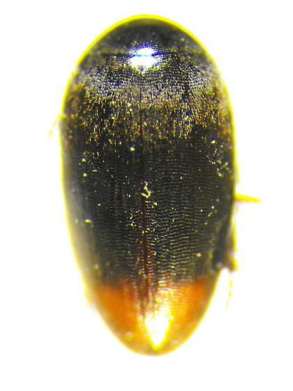 Unknown Beetle - Eucinetus haemorrhoidalis