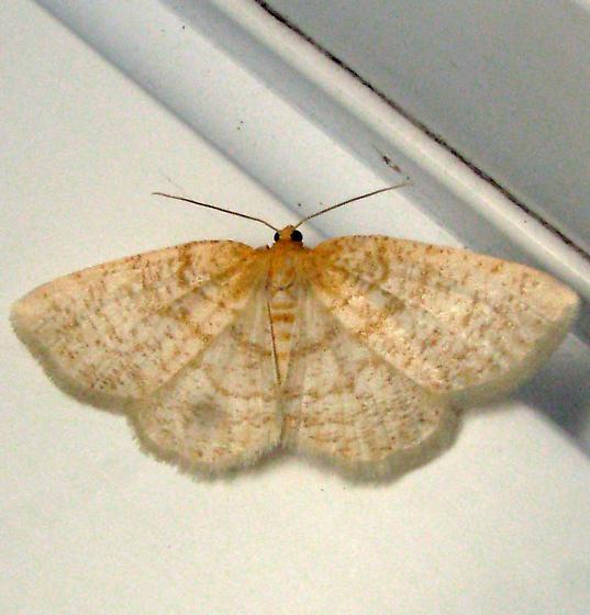 Tan geometrid - Gueneria similaria - female