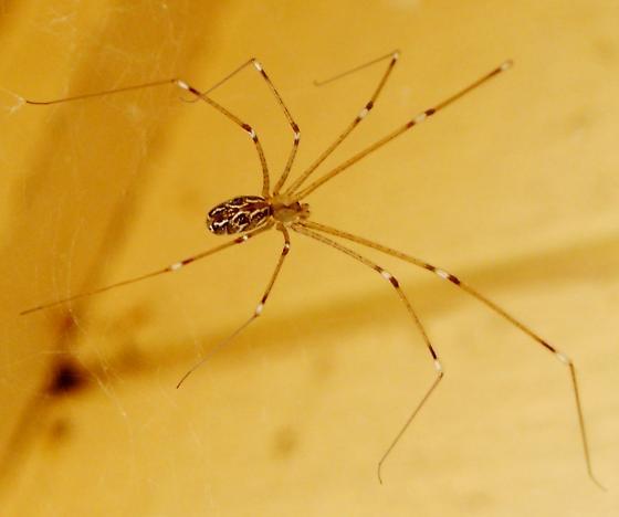 Marbled  Cellar Spider - Holocnemus pluchei