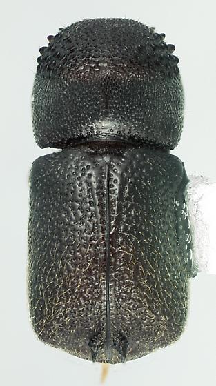 Sinoxylon conigerum Gerstaeker - Sinoxylon unidentatum