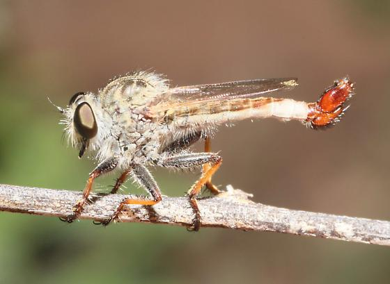 Efferia bicolor? - Efferia duncani - male