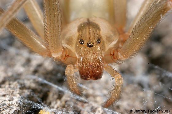 Brown Recluse - Loxosceles reclusa (female) - Loxosceles reclusa