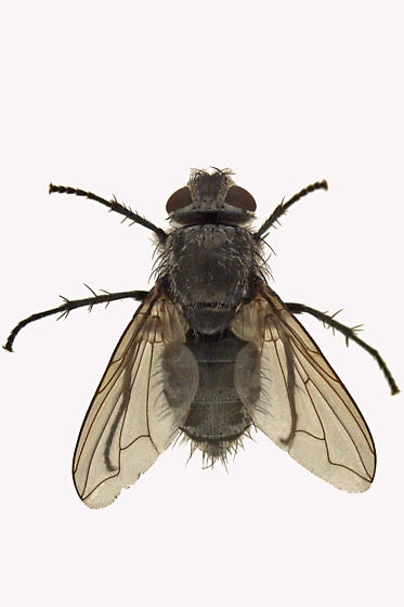 Blow Fly - Pollenia pediculata