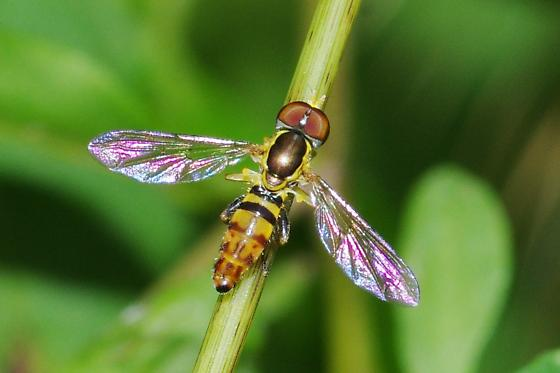 Which species of Syrphidae? - Toxomerus geminatus - male