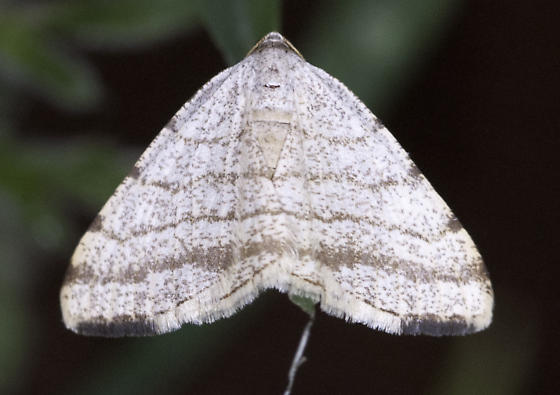 Day-flying moth - Taeniogramma octolineata