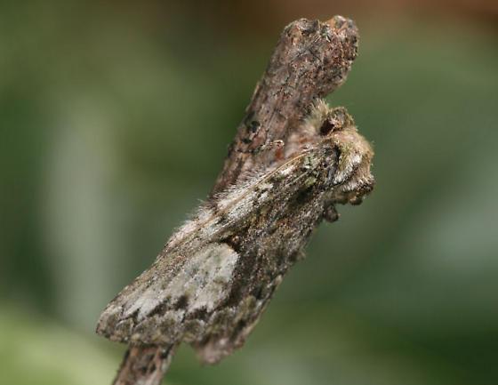 Large moth gray - Heterocampa umbrata