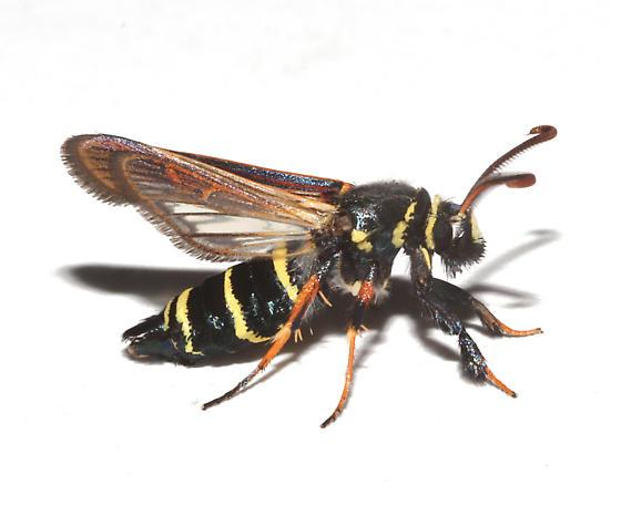 Sesiidae, Dusky Clearwing, lateral - Paranthrene tabaniformis