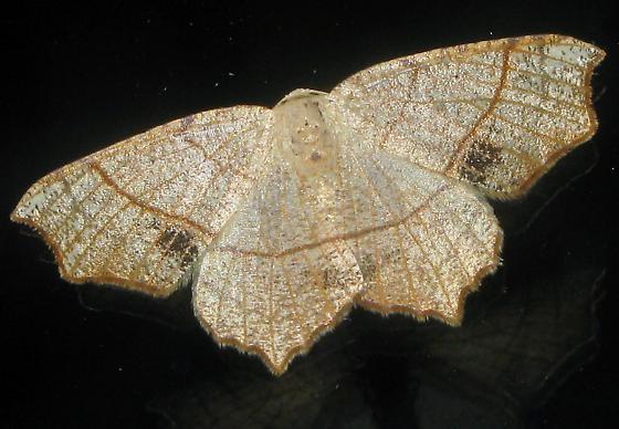 Oak Besma - Besma quercivoraria