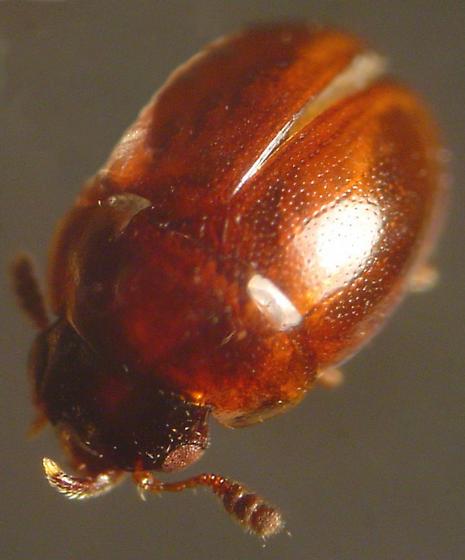 Agathidium difforme (LeConte) - Agathidium difforme - male