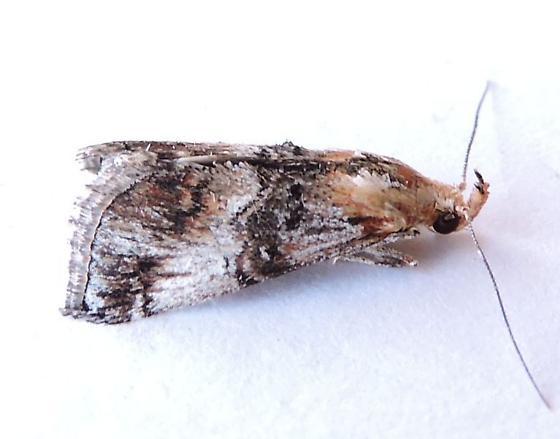 Arizona Moth - Toripalpus trabalis