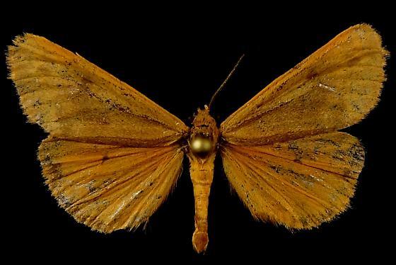 V. fragilis - Virbia fragilis - male