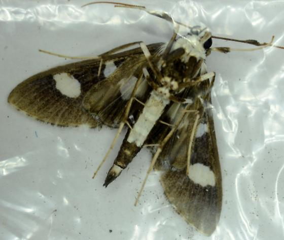 Grape Leaffolder  - Desmia funeralis - male