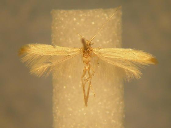 Coleophora glaucicolella