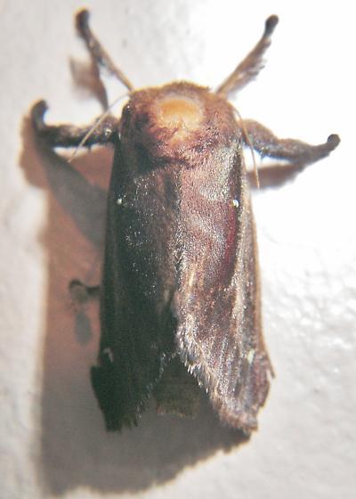 A chunky moth - ID help, please.   Acharia stimulea - Acharia stimulea