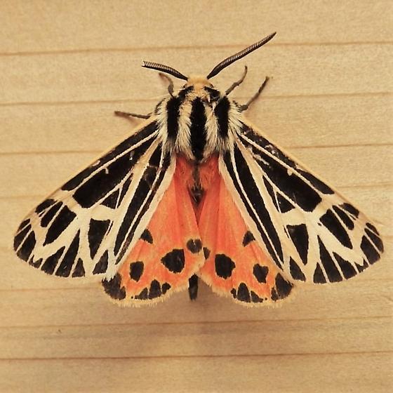 Erebidae: Grammia parthenice - Apantesis parthenice