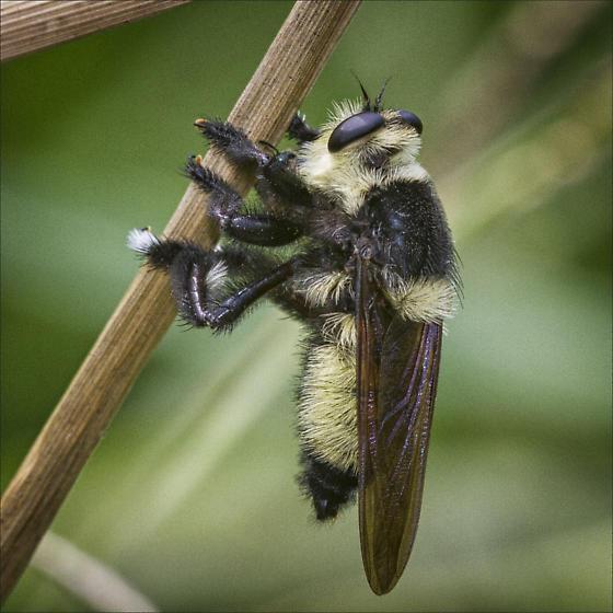 Genus Mallophora- is this Mallophora orcina - Mallophora orcina - male