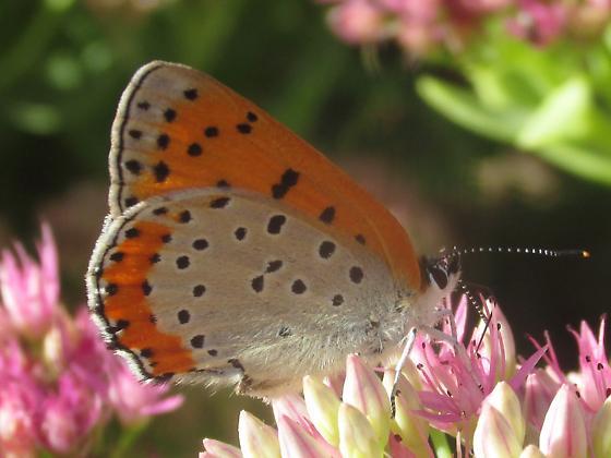 Lycaena hyllus - female