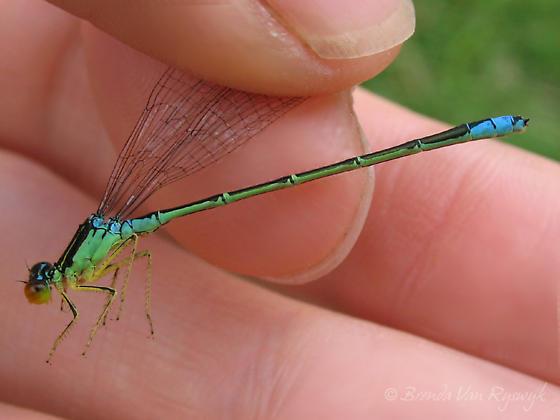 Rainbow Bluet - Enallagma antennatum - male