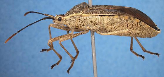 unknown coreid - Anasa andresii - female