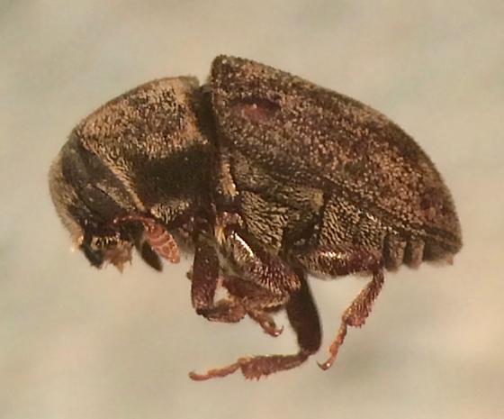 Hylesinus aculeatus