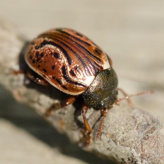 ladybug? - Calligrapha alni