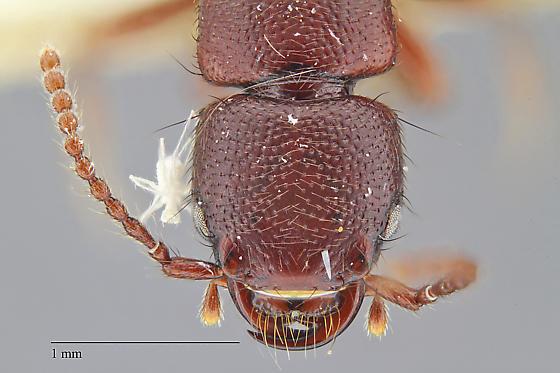 Staphylinidae-Paederinae