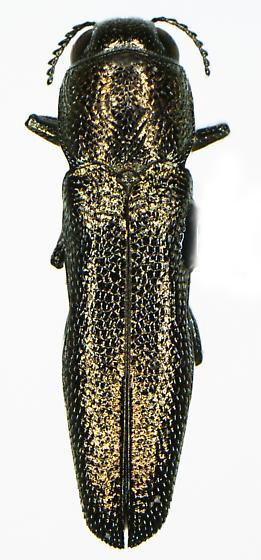 Agrilus abstersus Horn - Agrilus abstersus - male