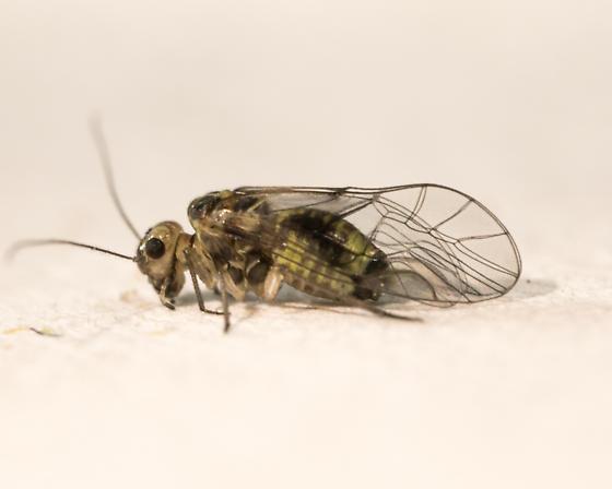Blastopsocus variabilis - female