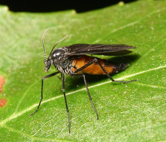 Dark-winged Fungus Gnat - Odontosciara nigra