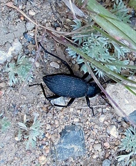 Desert Stink Beetle - Eleodes hispilabris